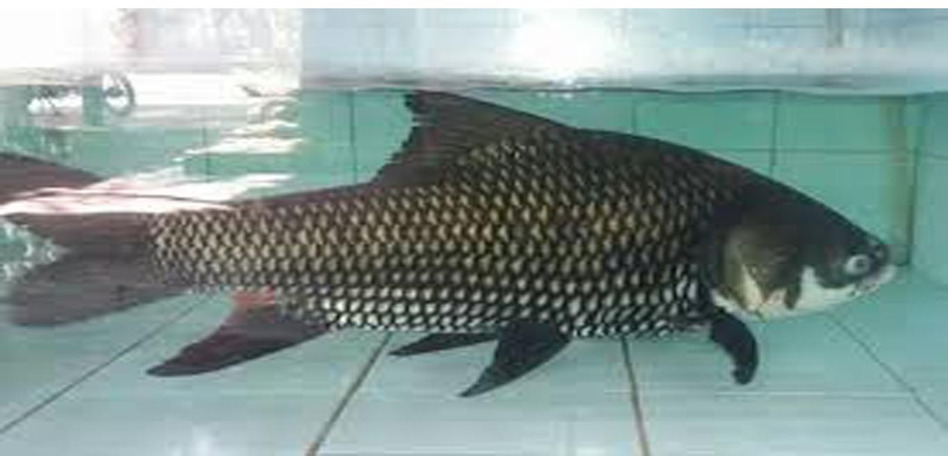 Cá Hô 1